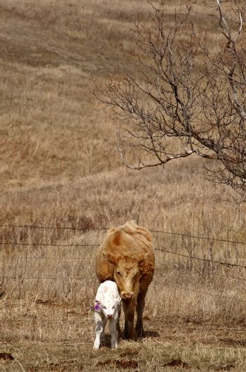 Young calf with mother in early spring
