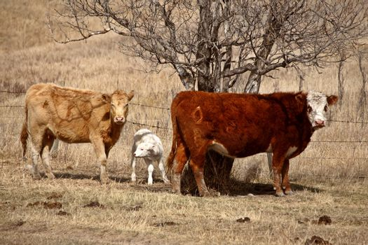 Cows and calf in spring pasture