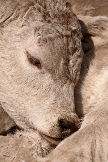 Young Calf sleeping on its shoulder