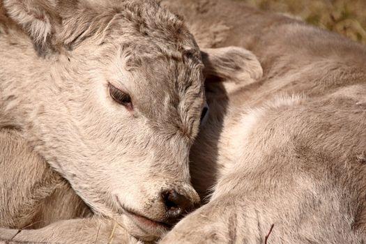 Young Calf sleeping on its shoulde