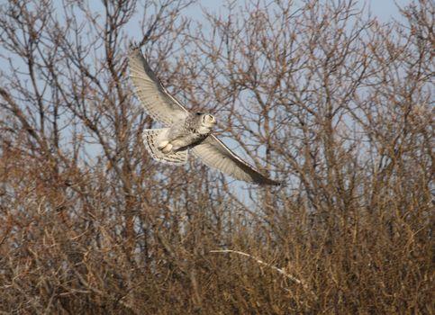 Horned Owl taking flight from bushes
