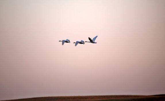Tundra Swans in flight near sundown