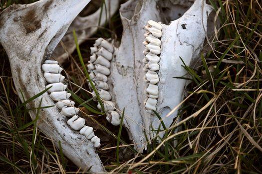 Jaw bones of an animal skull