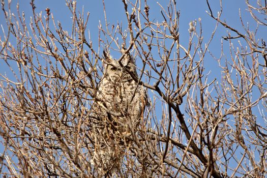 Great Horned Owl perched in tree
