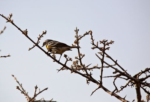 Warbler perched on thin branch