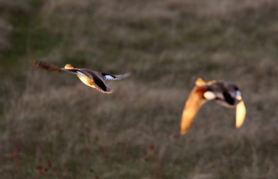 Blue winged Teal taking flight from pond