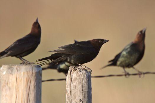 Male Brown headed Cowbirds gathering