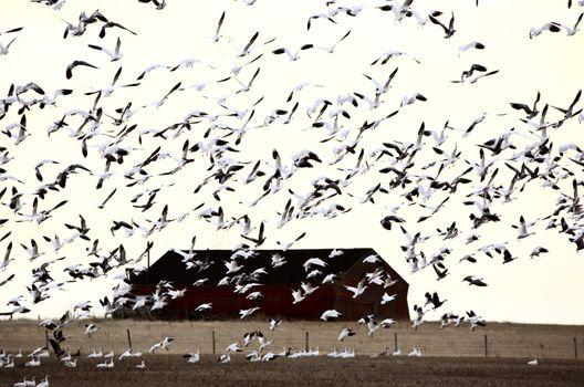 Huge flock of Snow Geese