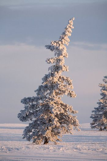Frost covered Spruce trees
