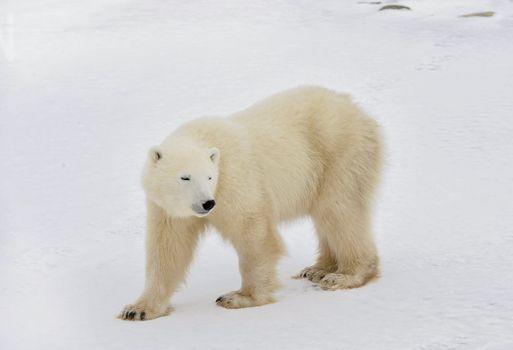 The polar bear goes on snow.