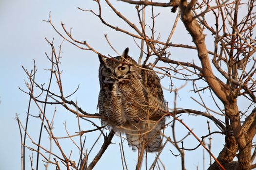 GreatHorned Owl perched in tree
