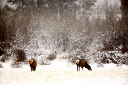 Elk grazing in winter