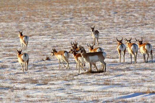 Herd of Pronghorn Antelope in winter