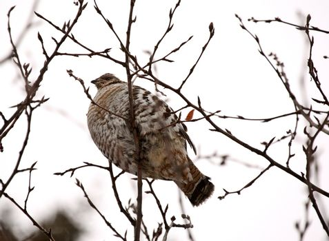 Spruce Grouse perched in tree