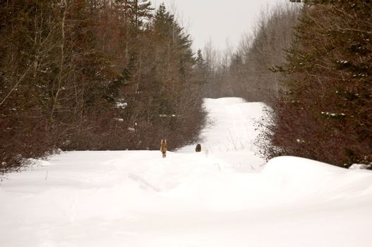 Two Gray Wolves fleeing down snowed filled logging road