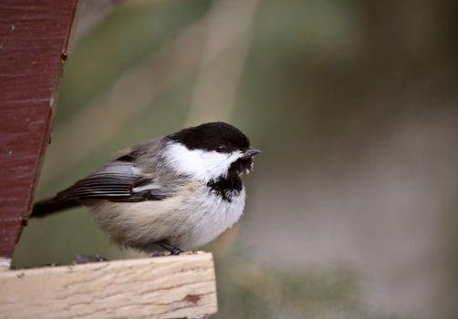 Chickadee perched on bird feeder