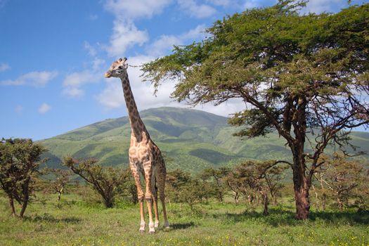 Giraffe walking through the grasslands