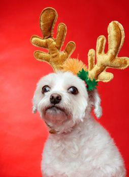 Cute Christmas dog with reindeer antlers