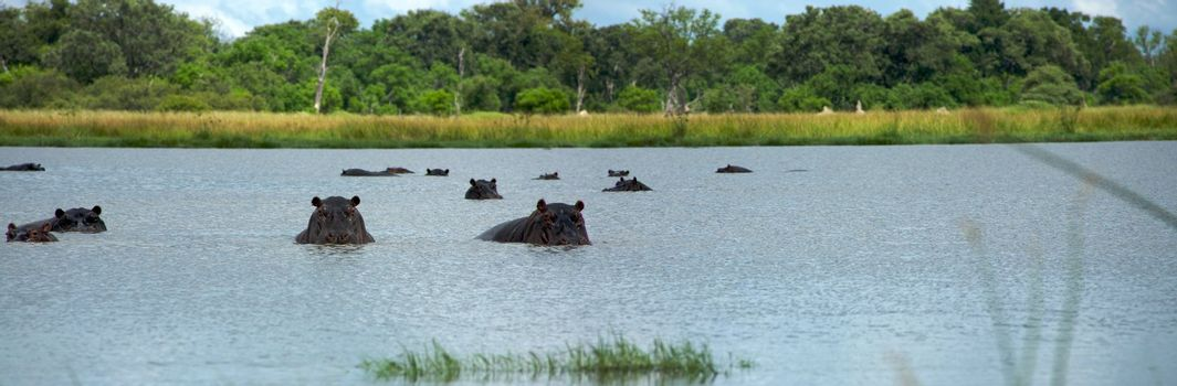 Group of hippos sitting in the water rearing  with forest in the background, in Moremi Nature Reserve