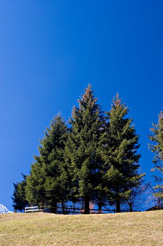 Pine trees against deep blue sky.