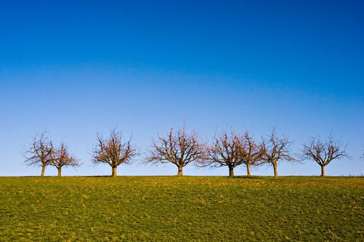Lined-up trees on a grass field with deep blue sky.