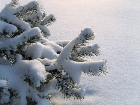 close-up branches of pine under a snow