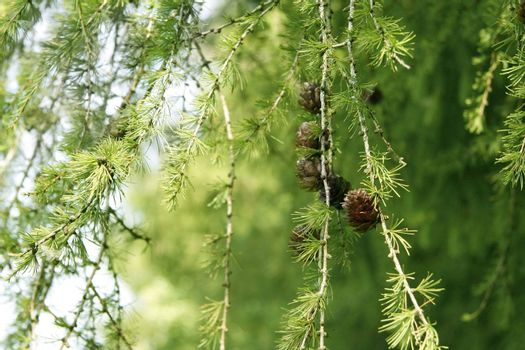 close-up of coniferous tree branch with cones