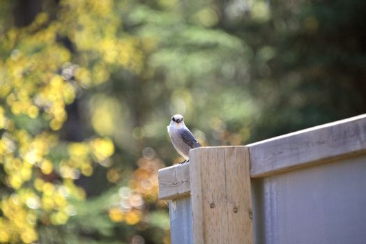 Gray Jay perched on sign