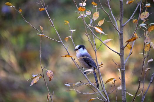 Gray Jay perched in bush