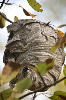 Odd shaped wasps nest in scenic Saskatchewan