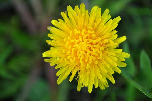 image with a yellow dandelion flower in nature good for background