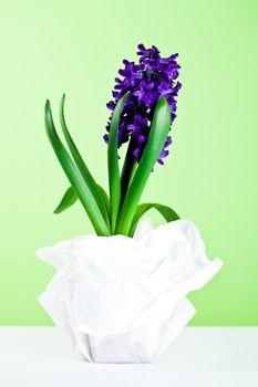 decorative hyacinth blossom
