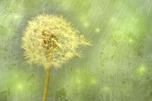 Closeup of dandelion with seeds