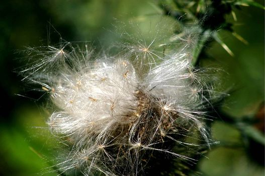 Seeds ready to take flight from a wild flower