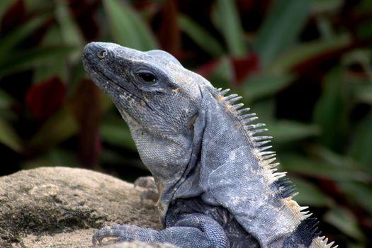 Close up profile of a grey lizard's head