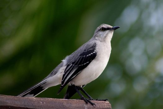 Mexican grey head finch perched on a rafter