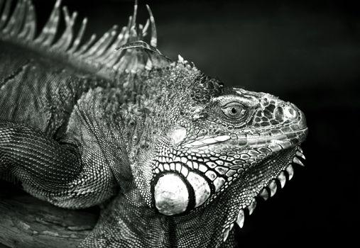 Portrait of a lizard close-up