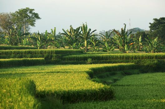 Rice field in Bali. Indonesia