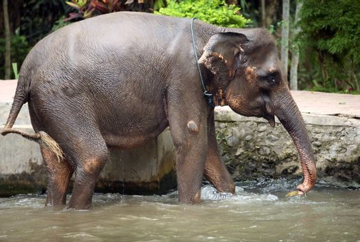 The elephant bathes in water