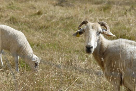 mother sheep and her lamb grazing in the field