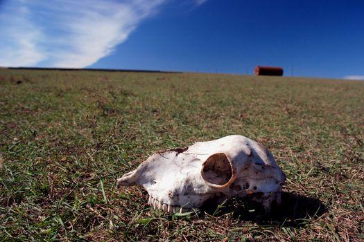 sheep cranium in Bessarabia steppe, Ukraine
