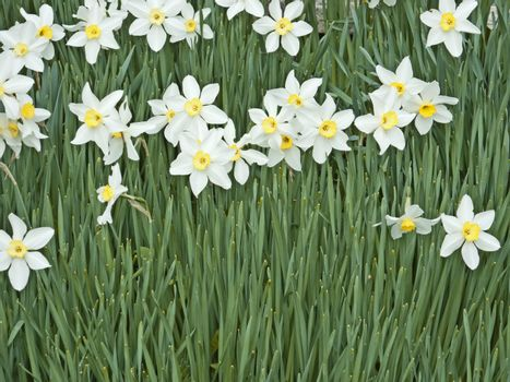 An image of some white daffodil background