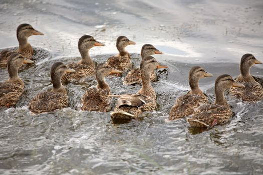 Blue-winged Teal hen with ducklings in a Saskatchewan pond