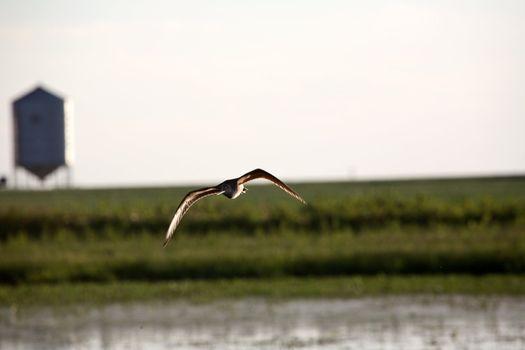 Marbled Godwit in flight in scenic Saskatchewan