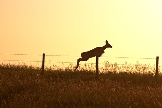 Doe leaping over a barbed wire fence in scenic Saskatchewan