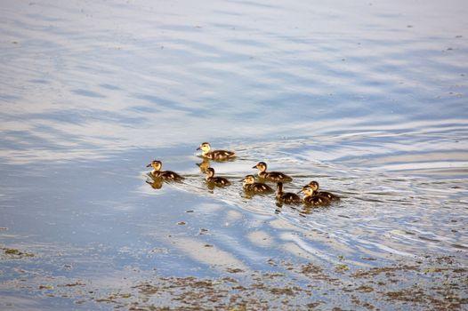 Blue-winged Teal ducklings in a Saskatchewan pond