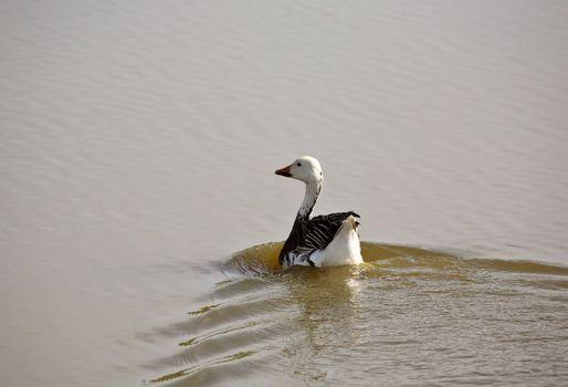 Lone Snow Goose in a Saskatchewan pond