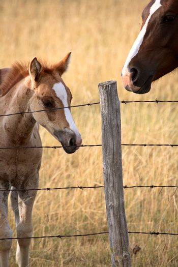 Foal and mare in a Saskatchewan pasture