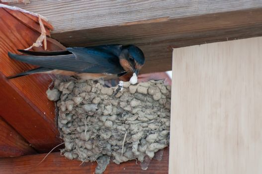 Black bird building nest
