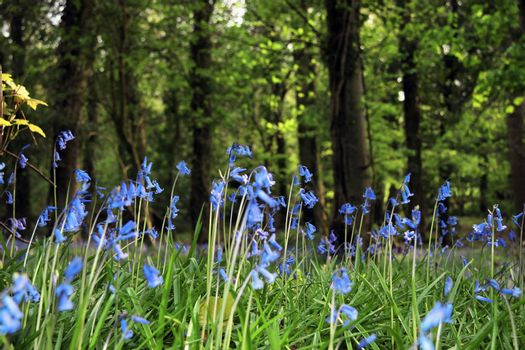 a wood carpeted in bluebells
